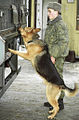 RIAN archive 20245 Cynologist with dog work at Torfyanovka checkpoint.jpg