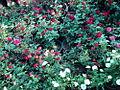 ROSE FLOWER.JPG