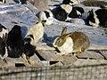 Rabbit خرگوش 01.jpg