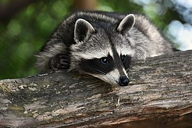 Raccoon on Log.jpg