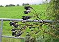 Rain soaked plants - geograph.org.uk - 920971.jpg
