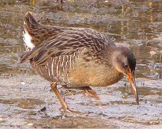 Clapper rail New world bird of salt marshes, recently split into different species