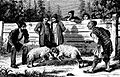 Ram fighting in Tiflis (Roskoschny, 1884).JPG