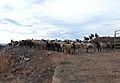 Ramat d'ovelles al poble vell de Belchite.JPG