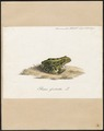 Rana esculenta - 1700-1880 - Print - Iconographia Zoologica - Special Collections University of Amsterdam - UBA01 IZ11500041.tif