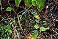 Ranunculus ficaria from Brecon - Flickr - peganum.jpg