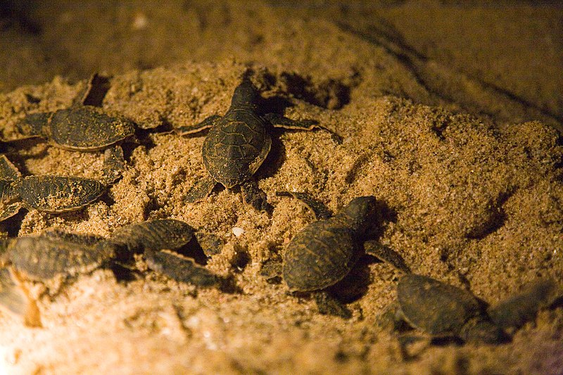 see: Turtles hatch and run for the ocean