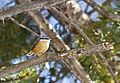 Red-breasted nuthatch (24381546025).jpg