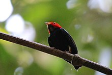 Red-headed manakin (Pipra rubrocapilla) male.JPG