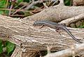 Red-sided Skink (Trachylepis homalocephala) (32895716196).jpg