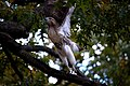 Red-tailed-hawk-nyc-oct-2010.jpg
