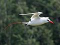 Red-tailed Tropicbird RWD2.jpg