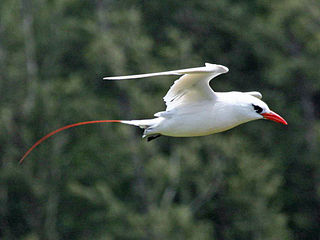 Red-tailed tropicbird A seabird native to tropical Indian and Pacific Oceans