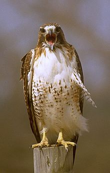 Red-tailed hawk02.jpg