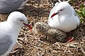 Red Billed Gull And Chick. From a hide. (8246990476).jpg