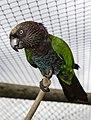 Red Fan Parrot.jpg