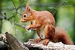 Red Squig - Scotland (36224037605).jpg