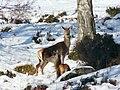 Red deer hinds, Glen Strathfarrar - geograph.org.uk - 1160488.jpg