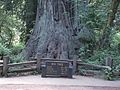 Redwood Sequoia CA USA.jpg