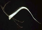 Regalecus glesne juvenile