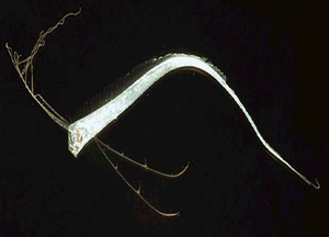 Oarfish - Juvenile Regalecus glesne