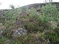 Regenerating pine forest, Glen Affric - geograph.org.uk - 174467.jpg