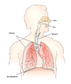 Respiratory system be.png