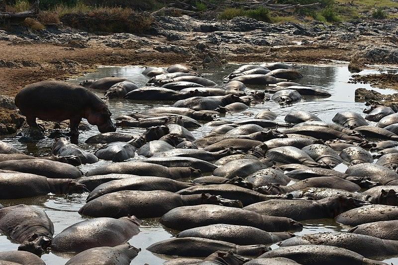 afrikanza-serengeti-hippos