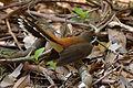 Rhipidura rufifrons -Royal National Park, NSW, Australia-8.jpg