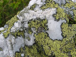 Lichenometry - The map lichen (Rhizocarpon geographicum), the lichen most used in lichenometry.