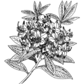 Rhododendron (PSF).png