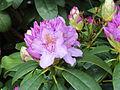 Rhododendron 02.JPG