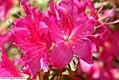 Rhododendron Chanticleer 1zz.jpg