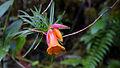 Rhododendron stenophyllum.jpg