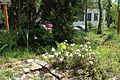 Rhododendron tomentosum 1629.JPG