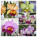 Rhyncholaeliocattleya (Brassolaeliocattleya) cultivars -香港青松觀蘭花展 Tuen Mun, Hong Kong- (9219877987).jpg