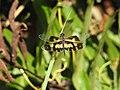 Rhyothemis variegata .jpg