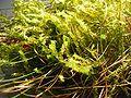 Rhytidiadelphus squarrosus habitus.jpeg