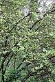 Ribes alpinum - Floraison.jpg
