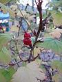 Ribes fasciculatum2.jpg