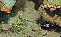 Ringed Pipefish (Doryrhamphus dactyliophorus) (6052828289).jpg
