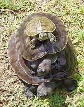 Asian Box Turtle Wikipedia