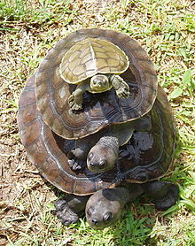 Three turtles of varying sizes stacked ontop of each other with the largest at the bottom