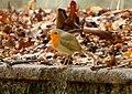 Robin Erithacus rubecula Червеногръдка.jpg