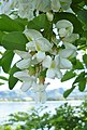 Robinia pseudoacacia 2.jpg