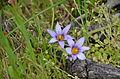 Romulea columnae 1009.jpg