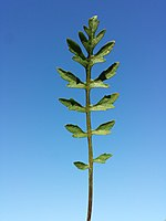 Rorippa sylvestris (s. str.) sl9.jpg