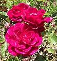 Rosa-garnette.jpg