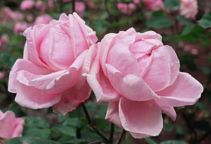 Rosa 'Mme. Caroline Testout', Híbridos de te, ...