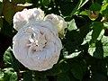 "Rosa ""Colonial White"" o ""Sombreuil"". 02.jpg"